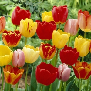 Tulip Blends